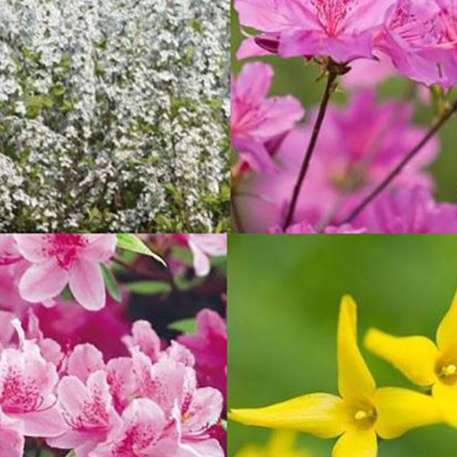 韓国のお花見